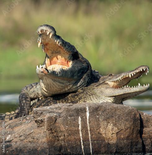 Poster Crocodile Nile crocodile (Crocodylus niloticus), mating,