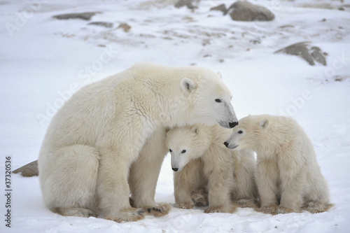 Tuinposter Ijsbeer Polar she-bear with cubs.