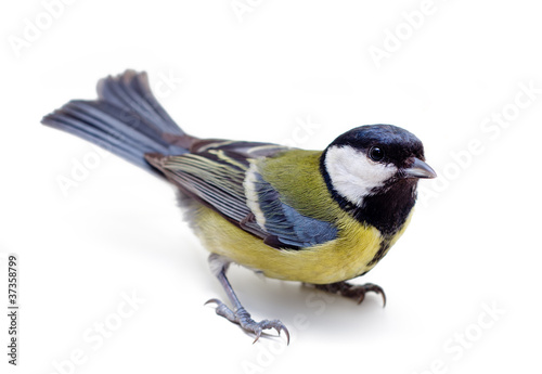 Photo sur Toile Oiseau Titmouse on a white background close up