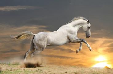 silver-white stallion in sunset