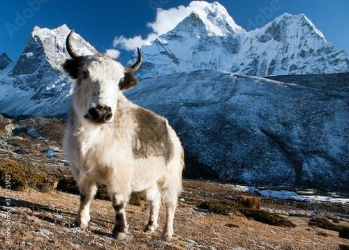 Wall Murals Nepal yak on pasture and ama dablam peak