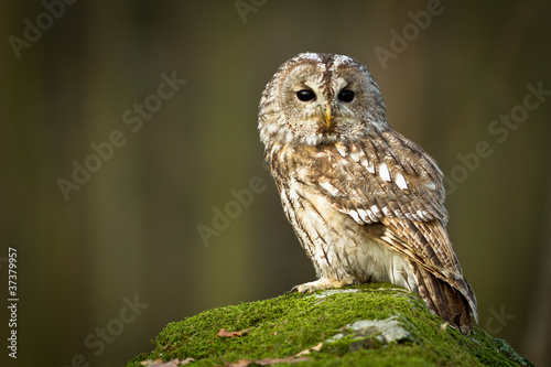 Spoed Foto op Canvas Uil Tawny Owl sitting on the rock in the forest