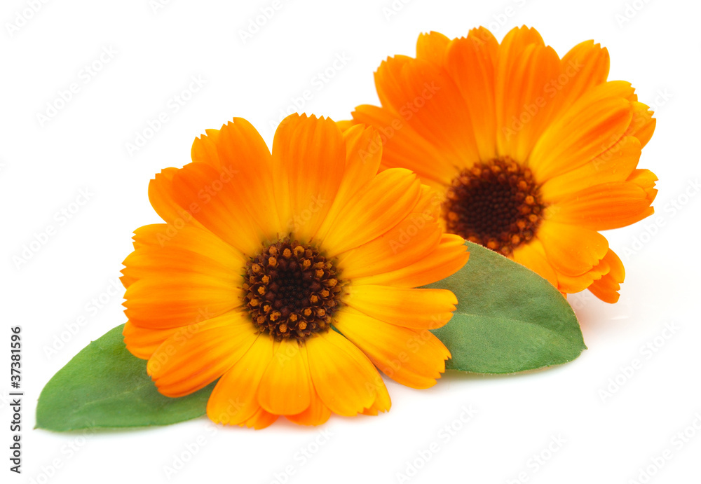 Fototapety, obrazy: Marigold with leaves