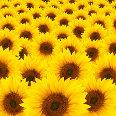 Fototapetabeautiful yellow Sunflowers