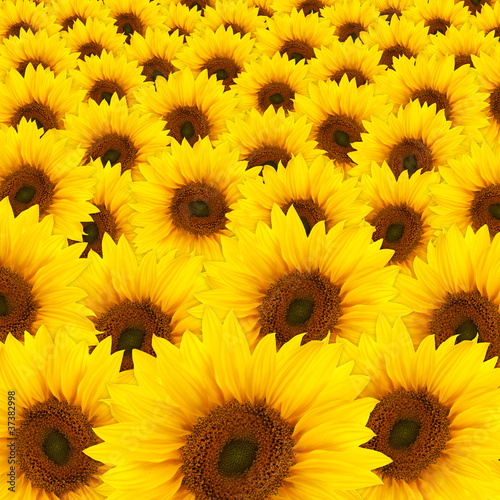beautiful yellow Sunflowers - 37382998
