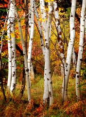 Fototapeta Fall Birch Trees