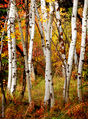 Foto op Aluminium Berkbosje Fall Birch Trees