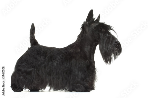 joli profil de la silhouette du scottish terrier Wallpaper Mural