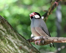 Java Padda Birds