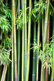 Fototapeta Bamboo - Green bamboo