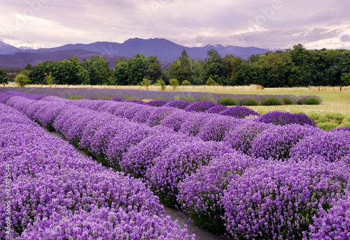 Foto-Kissen - Lavender Farm in Sequim, Washington, USA