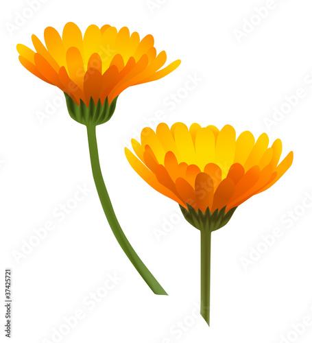 Photo Asteraceae
