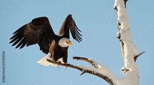 Poster Eagle Landing of an eagle.