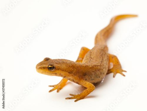 Obraz na plátně newt isolated on white