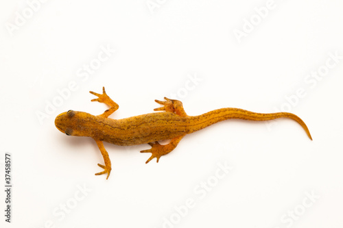 newt isolated on white Canvas Print