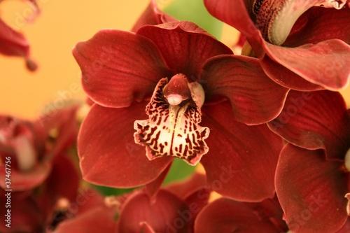 Plakaty rośliny   orchidea-phalaenopsis