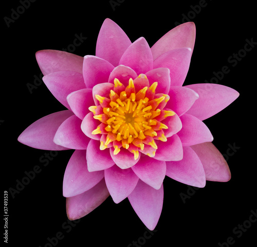 Garden Poster Lotus flower Pink lotus on a black background.