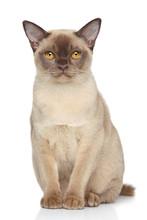 Burma Cat On White Background