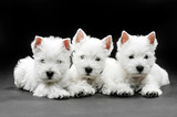 Fototapeta Dogs - West Highland White Terrier puppies
