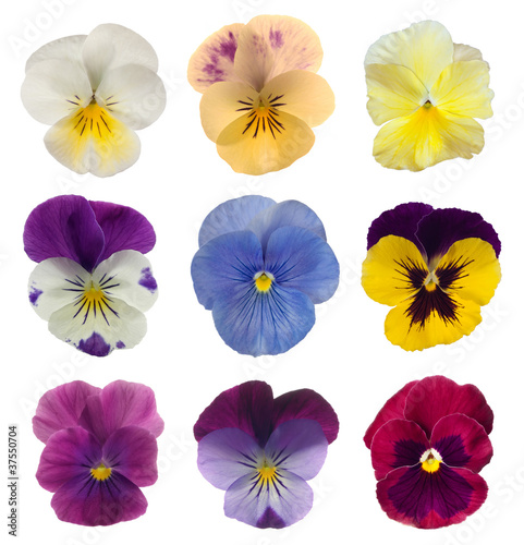 Spoed Foto op Canvas Pansies collection of pansies