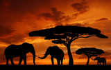 Fototapeta Sawanna - Silhouette elephants in the sunset
