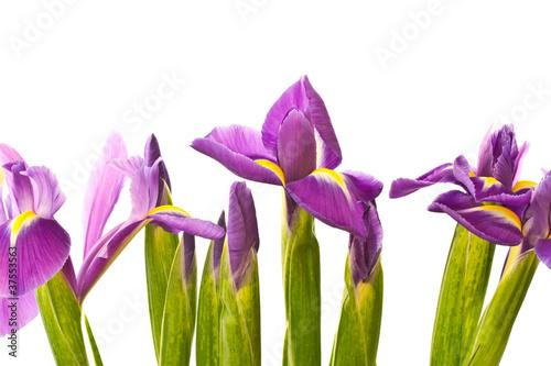 Foto op Canvas Iris iris flower