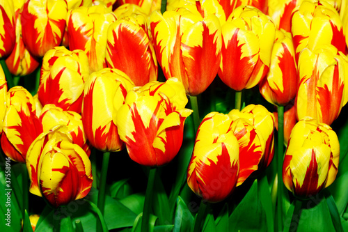 Photo Stands Tulip tulips