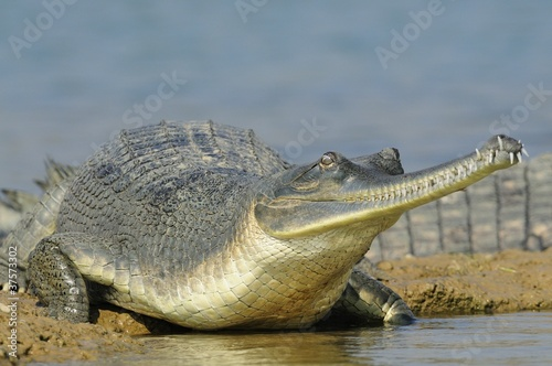 Poster Crocodile Gharial on the Water's Edge