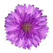 canvas print picture - Cornflower like Pink Purple Flower Isolated