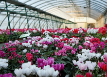 Series Of Vases Of Flowers Violets And Cyclamen In A Greenhouse