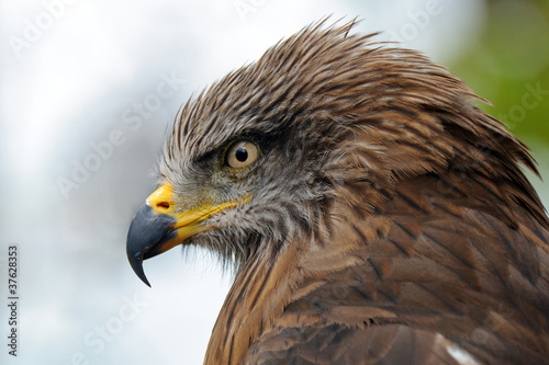 Photo  Golden eagle