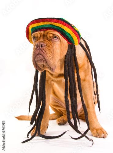 Photo  Rastafarian Hat Dog