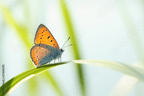 Poster Vlinder Butterfly (Polyommatus) on a blade of grass against a blue sky