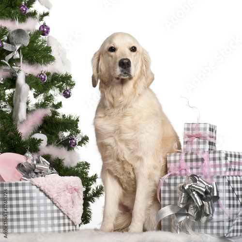 Golden Retriever 5 Years Old With Christmas Tree And Gifts