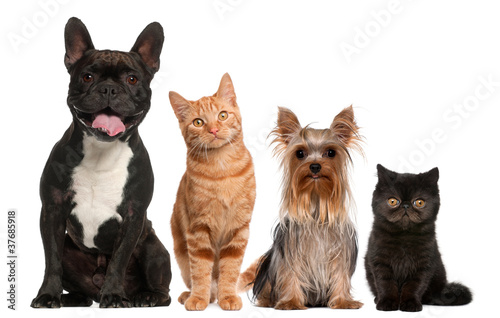 Group of cats and dogs sitting in front of white background - 37685918
