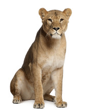 Lioness, Panthera Leo, 3 Years Old, Sitting