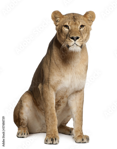Lioness, Panthera leo, 3 years old, sitting Wallpaper Mural