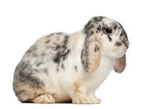 Tri Color Spotted French Lop Rabbit, 2 Months Old