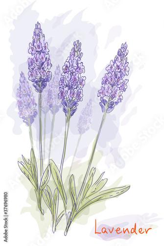 kwiaty-lawendy-lavandula-styl-akwareli