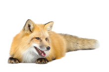 Red Fox Laying Looking Aside