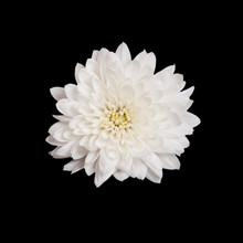 Open White Chrysanthemum Butto...