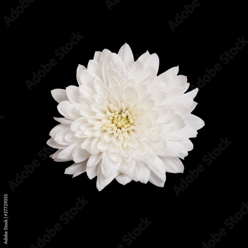 Fotomural open white chrysanthemum button  isolated on black