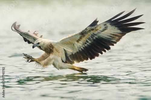 Poster Eagle sea eagle spread his wings ready to attack his prey