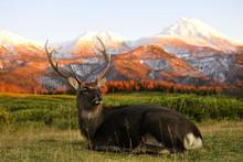 на фоне гор лежит красивый олень