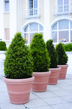Ornamental Potted Trees