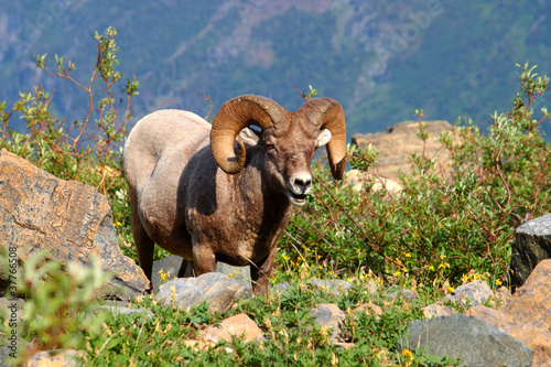 Valokuva  Bighorn sheep (Ovis canadensis) - Montana