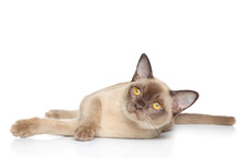 Burmese Cat Posing On A White Background