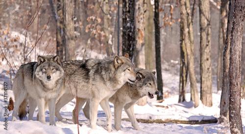 Keuken foto achterwand Wolf meutes de loups