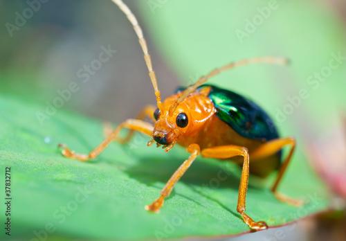 Fotografie, Tablou Bombardier Beetle (brachinus alternans)