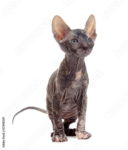 hairless sphynx kitten - Buy this stock photo and explore